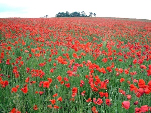 flanders-field-poppies